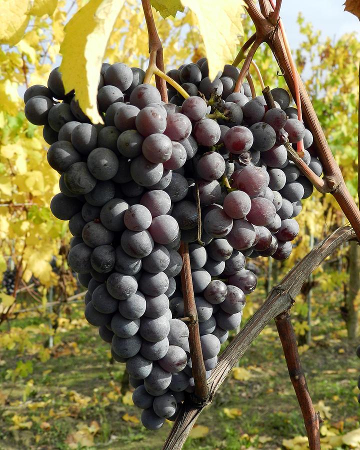 Grapes Photograph - Ready To Harvest by Carolyn Waissman
