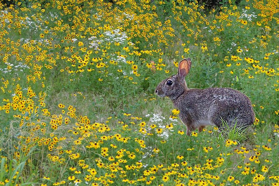 Bunny Photograph - Ready To Run by Carolyn Fletcher