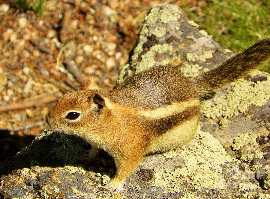 Chipmunk Photograph - Ready To Run by Michelle Bentham