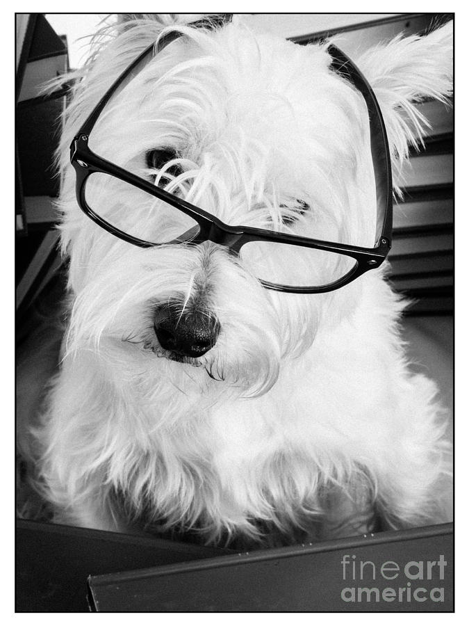 Dog Photograph - Really Portait Of A Westie Wearing Glasses by Edward Fielding