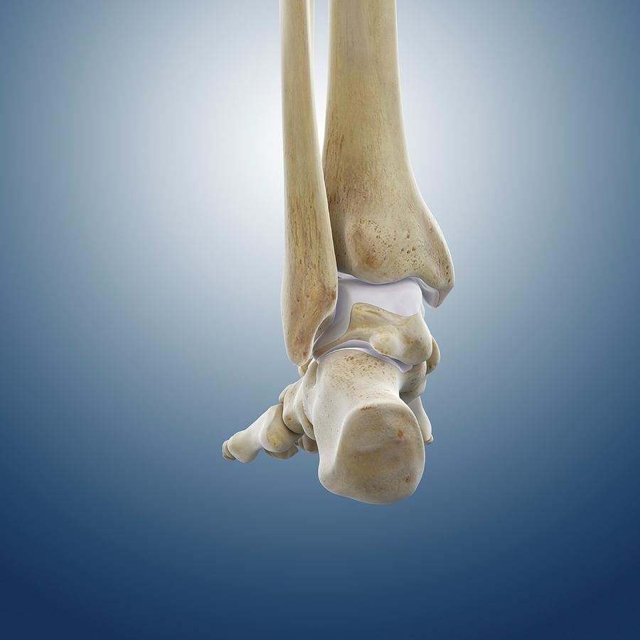 Rear Foot And Ankle Bones Photograph By Springer Medizin