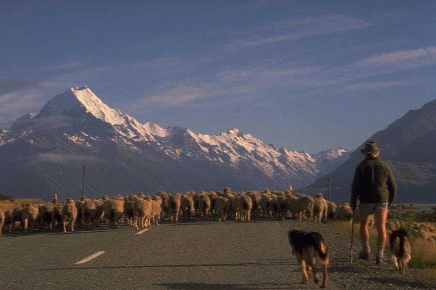 Rear View Of Shepard With Dogs Walking Towards Flock Of Sheep Photograph by Michel Guntern / EyeEm