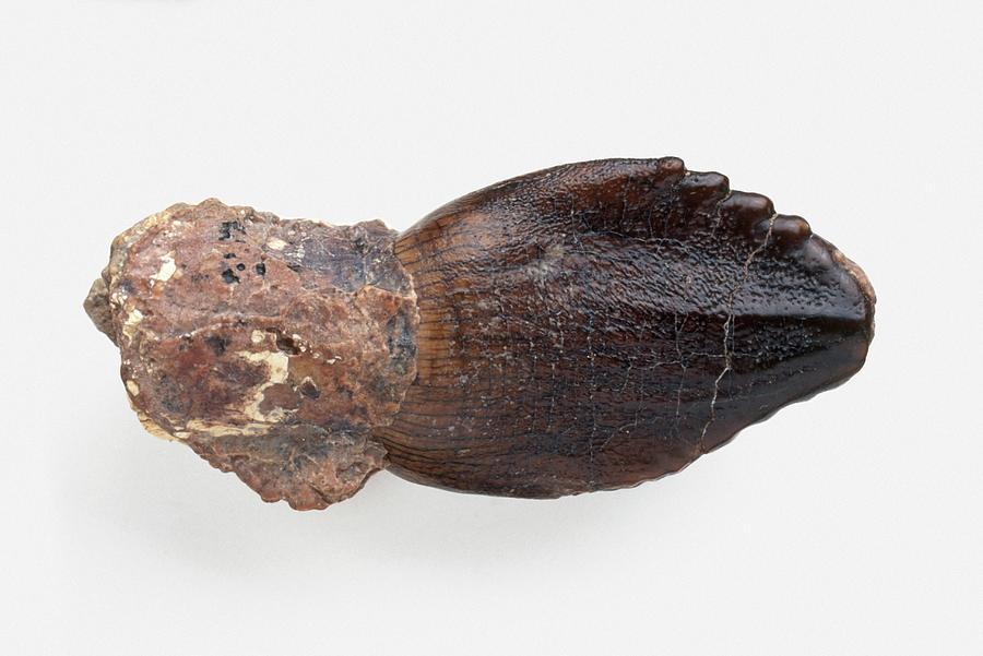 Animal Photograph - Rebbachisaurus Dinosaur Tooth by Dorling Kindersley/uig