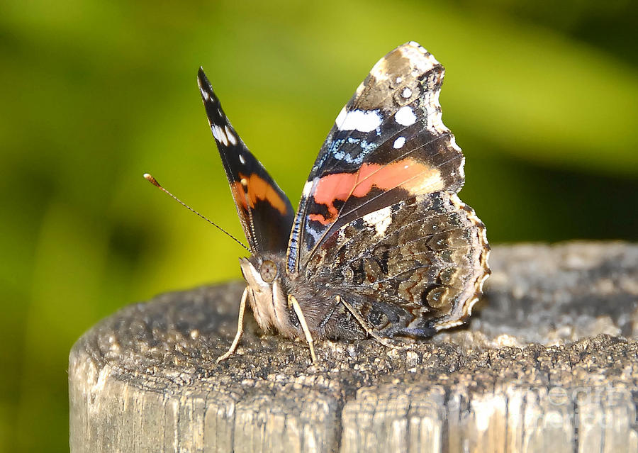 Red Admiral Butterfly Photograph - Red Admiral Butterfly by David Lee Thompson