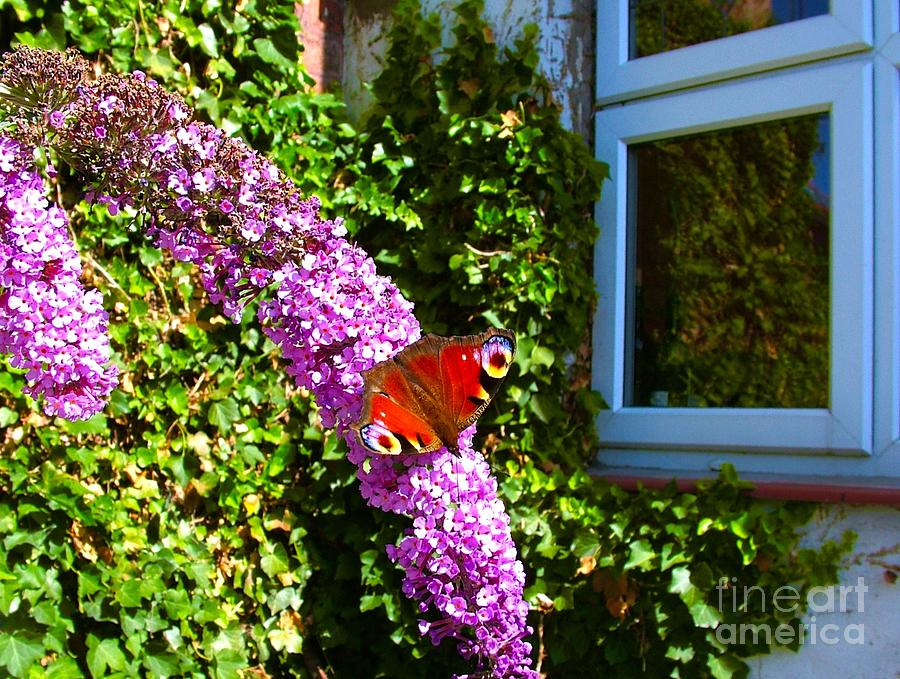 Red Admiral On A Budlier By The Kitchen Window Photograph