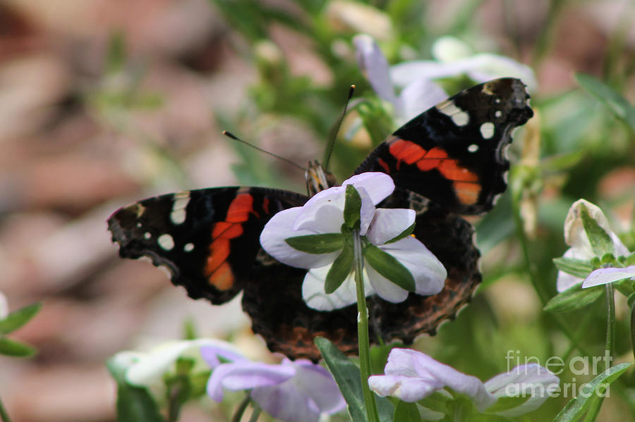 Butterfly Photograph - Red Admiral  by Sarah Boyd