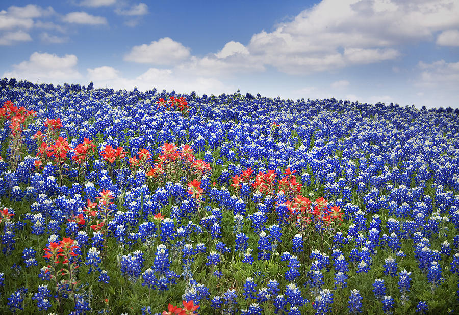 Bloom Photograph - Red Among The Blue by David and Carol Kelly