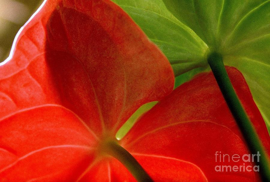 Nature Photograph - Red And Green Anthurium by Ranjini Kandasamy