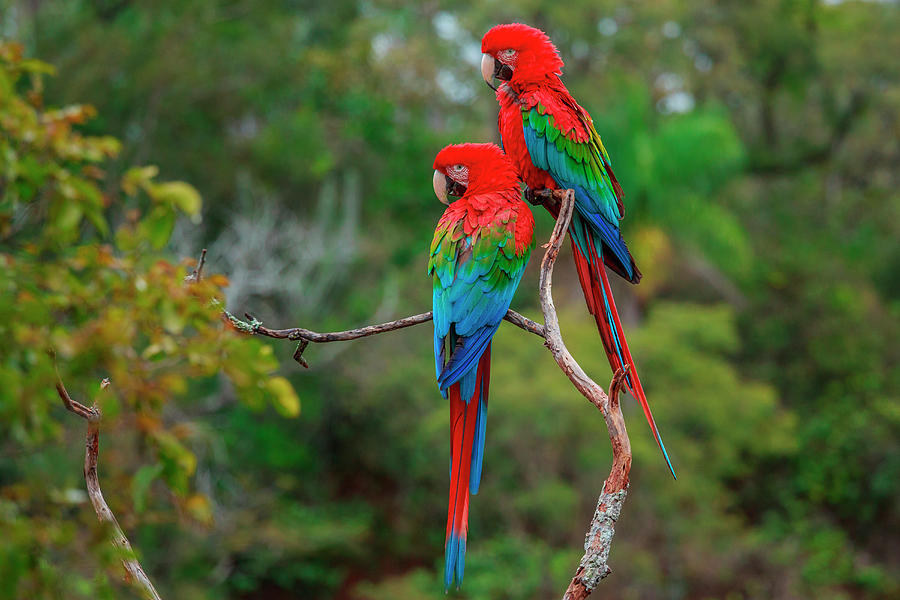 Macaw Photograph - Red-and-green Macaws, Ara Chloroptera by Mint Images/ Art Wolfe