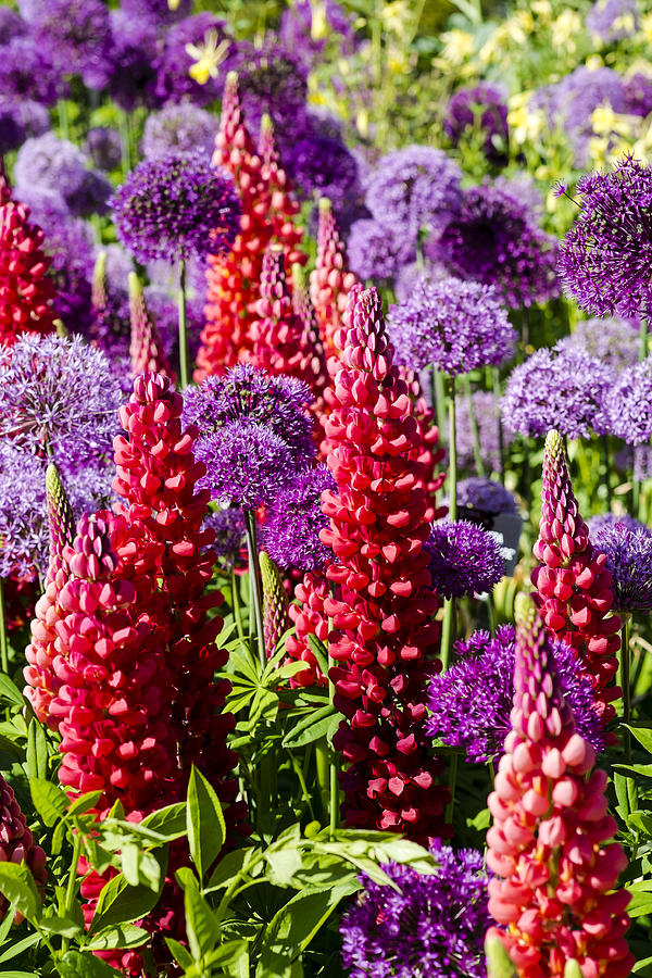 Blooms Photograph - Red And Purple #1 by Gerry Walden