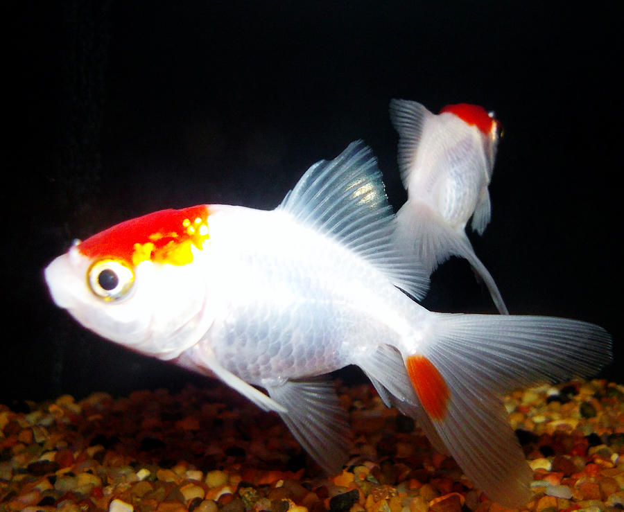 red fantail goldfish - 900×739