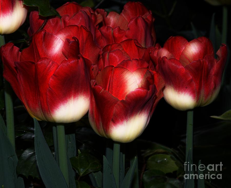 Tulip-tulips.red-white-color-petal Photograph - Red And White Tulips by Kathleen Struckle