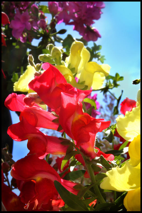 Flower Photograph - Red And Yellow Snapdragons I by Aya Murrells