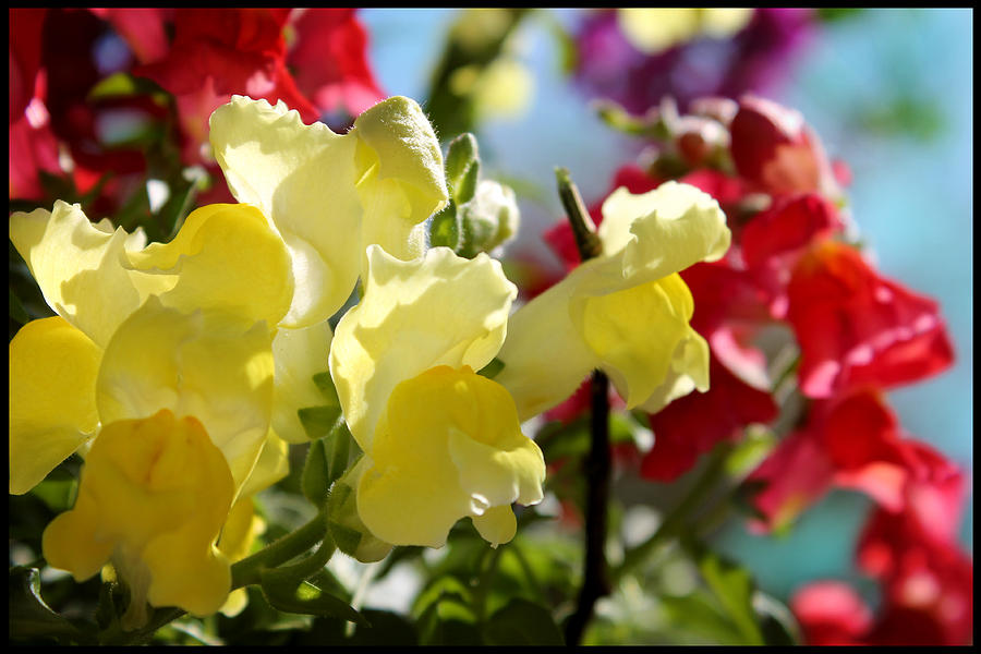 Flower Photograph - Red And Yellow Snapdragons II by Aya Murrells