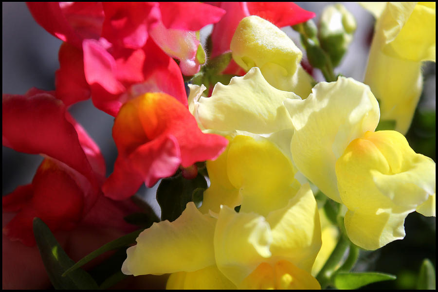 Flower Photograph - Red And Yellow Snapdragons IIi by Aya Murrells