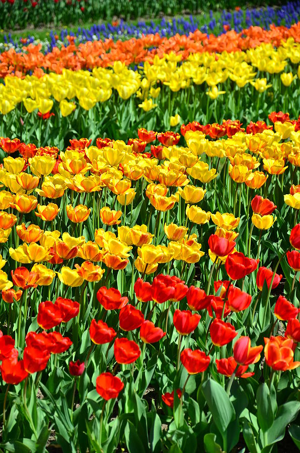 Tulips Photograph - Red And Yellow Tulips by Gynt