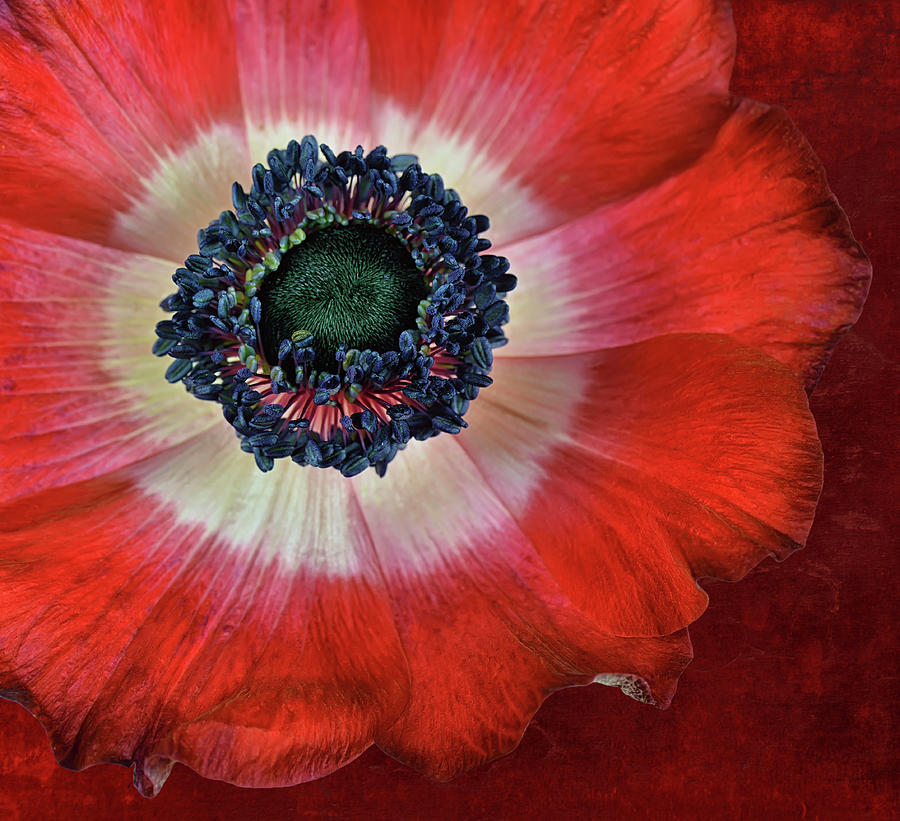 Red Anemone Flower Close Up Photograph by Cora Niele