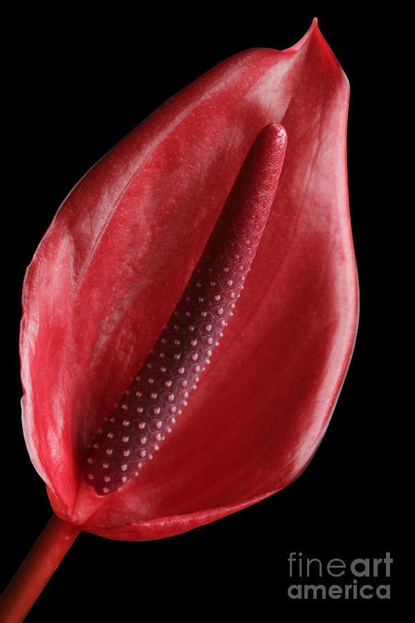 Red Anthurium Photograph - Red Anthurium #3 by Judy Whitton