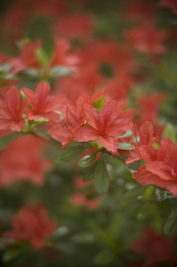 Red Azaleas Photograph