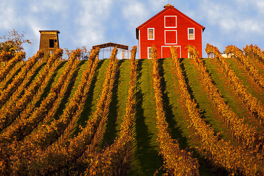 Red Photograph - Red Barn In Autumn Vineyards by Garry Gay
