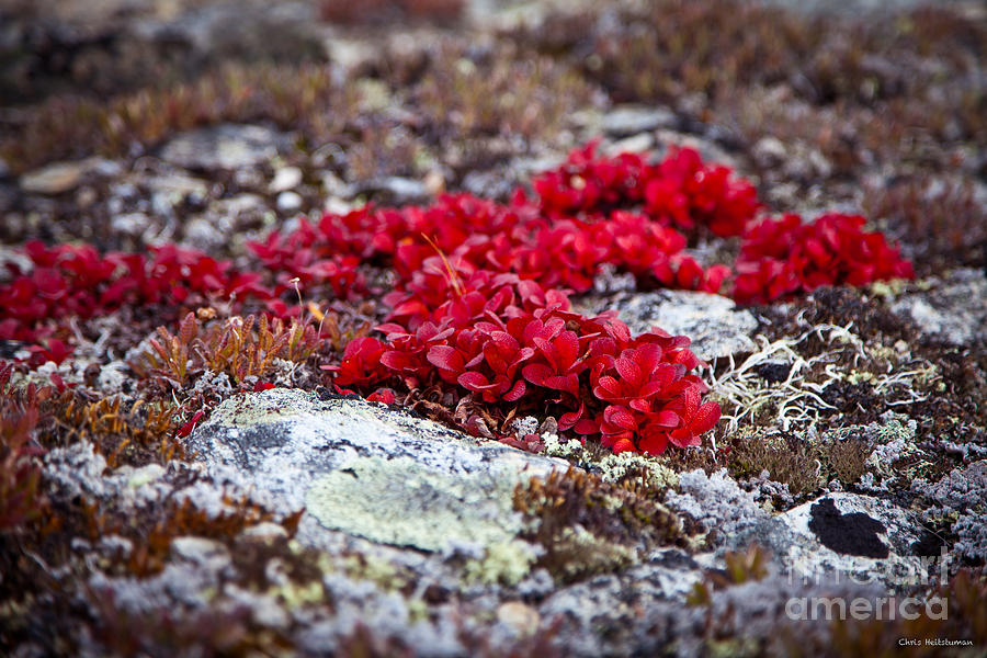 Alaska Photograph - Red Bearberry by Chris Heitstuman