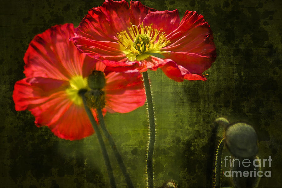 Poppy Photograph - Red Beauties In The Field by Heiko Koehrer-Wagner