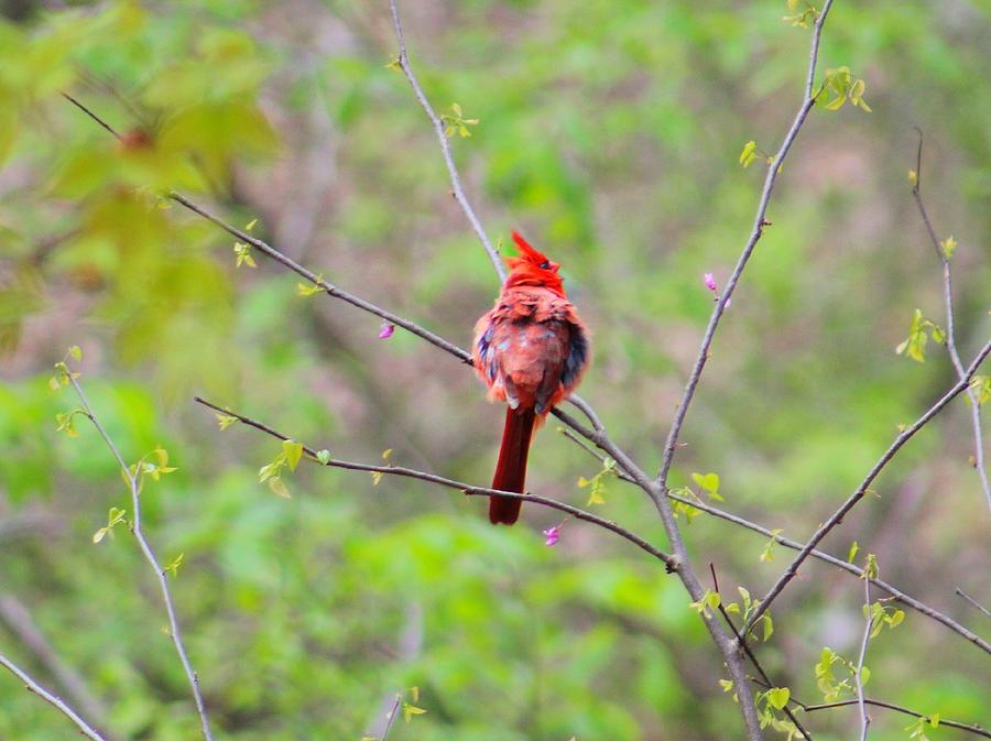 Cardinal Photograph - Red Beauty by Candice Trimble