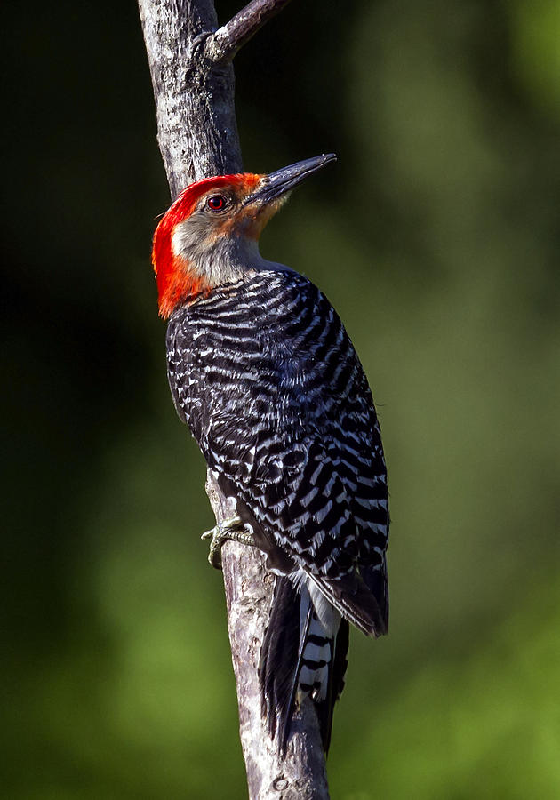 Avian Photograph - Red-bellied Woodpecker Pose by David Lester