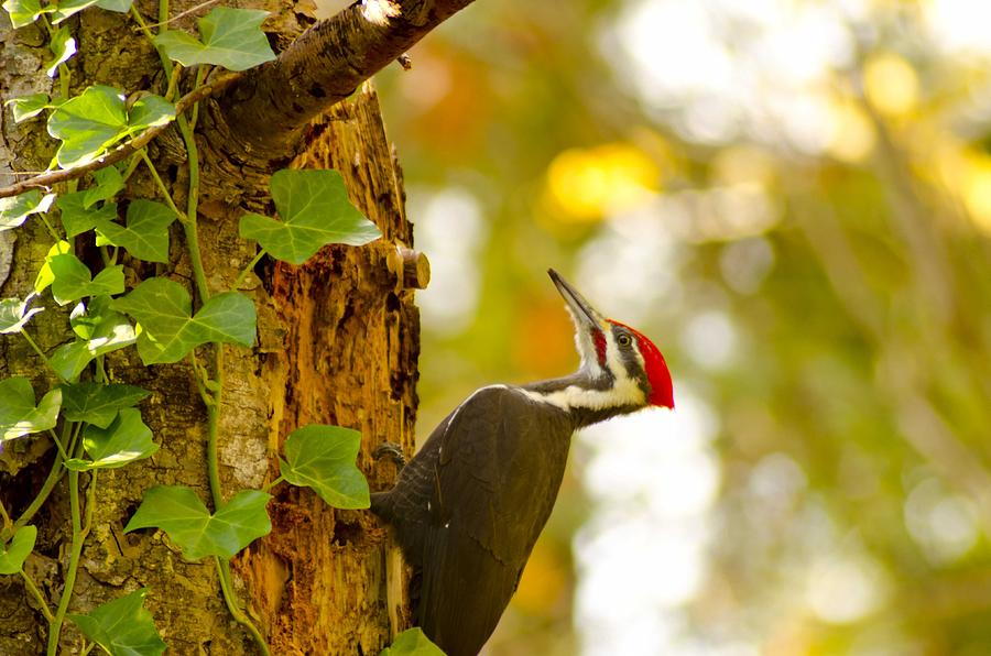 Woodpecker Photograph - Red Beret by Robert Holmberg