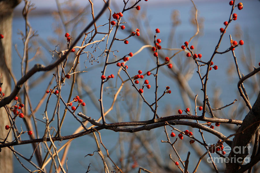 Red Berries Photograph - Red Berries 2 by Mike Mooney