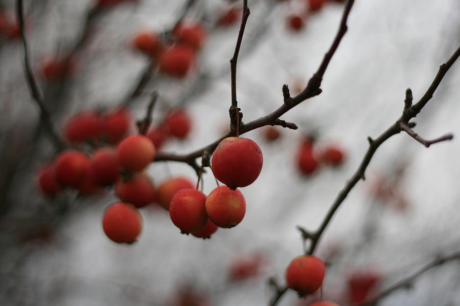 Red Photograph - Red Berries by Brady D Hebert
