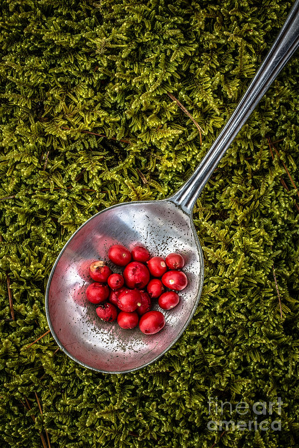 Moss Photograph - Red Berries Silver Spoon Moss by Edward Fielding