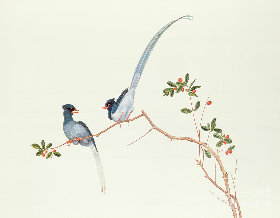 Ornithological Painting - Red Billed Blue Magpies On A Branch With Red Berries by Chinese School