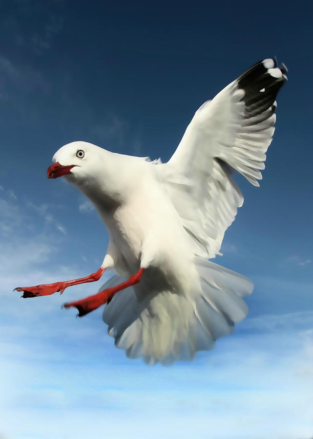 Red Billed Gull Photograph - Red Billed Seagull  by Amanda Stadther