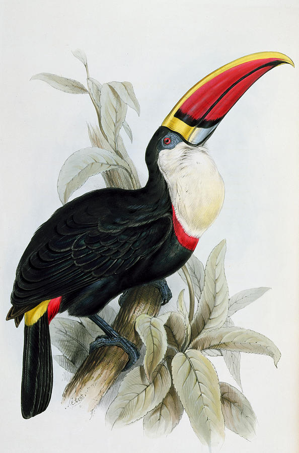 Exotic Painting - Red-billed Toucan by Edward Lear