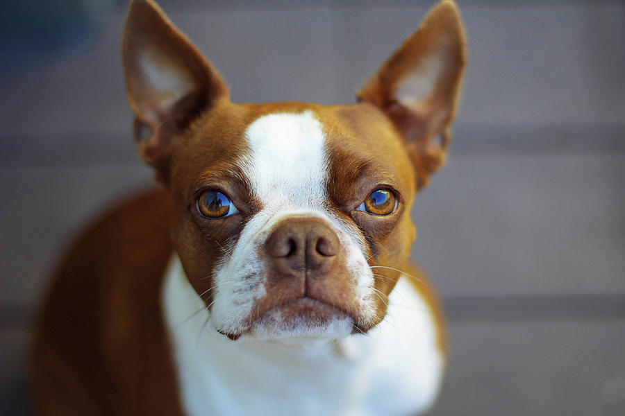 Red Boston Terrier Photograph by Genevieve Morrison