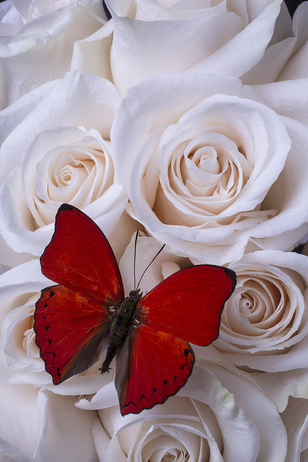 Red Butterfly Among White Roses Photograph By Garry Gay