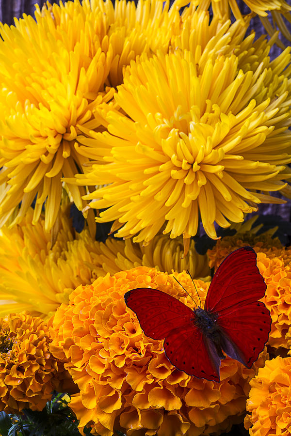 Red Butterfly Photograph - Red Butterfly On African Marigold by Garry Gay