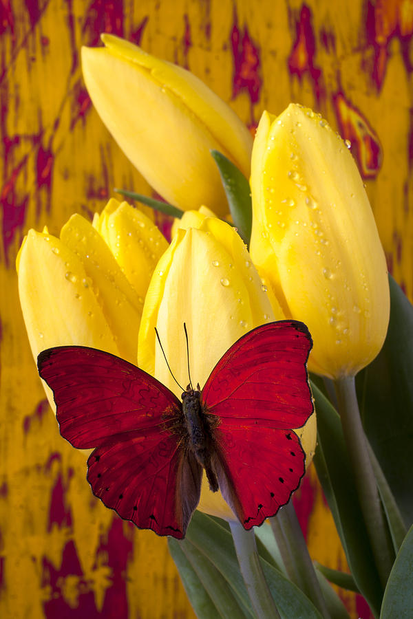 Red Photograph - Red Butterfly Resting On Tulips by Garry Gay