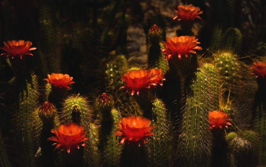 Cactus Photograph - Red Cactus Flowers  by Saija  Lehtonen