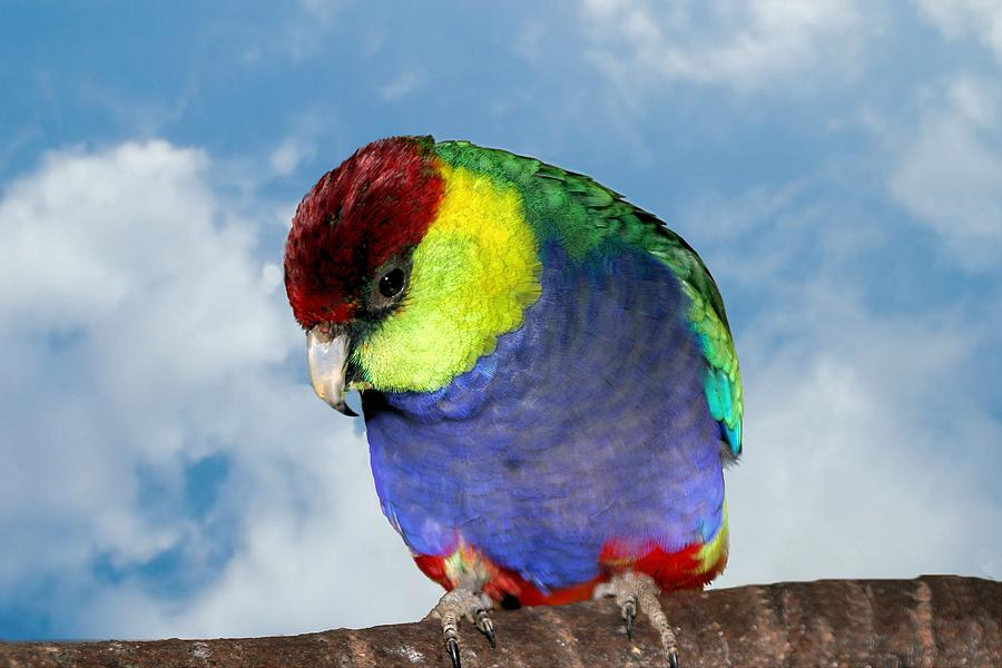 Red Capped Parrot by David Rich