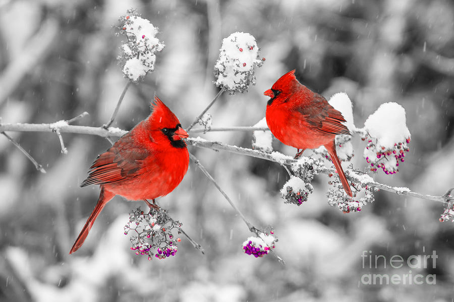 Red cardinals in the snow photograph by anthony sacco - Winter cardinal background ...