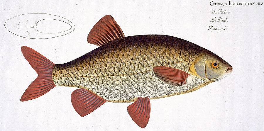 Fish Painting - Red Carp by Andreas Ludwig Kruger