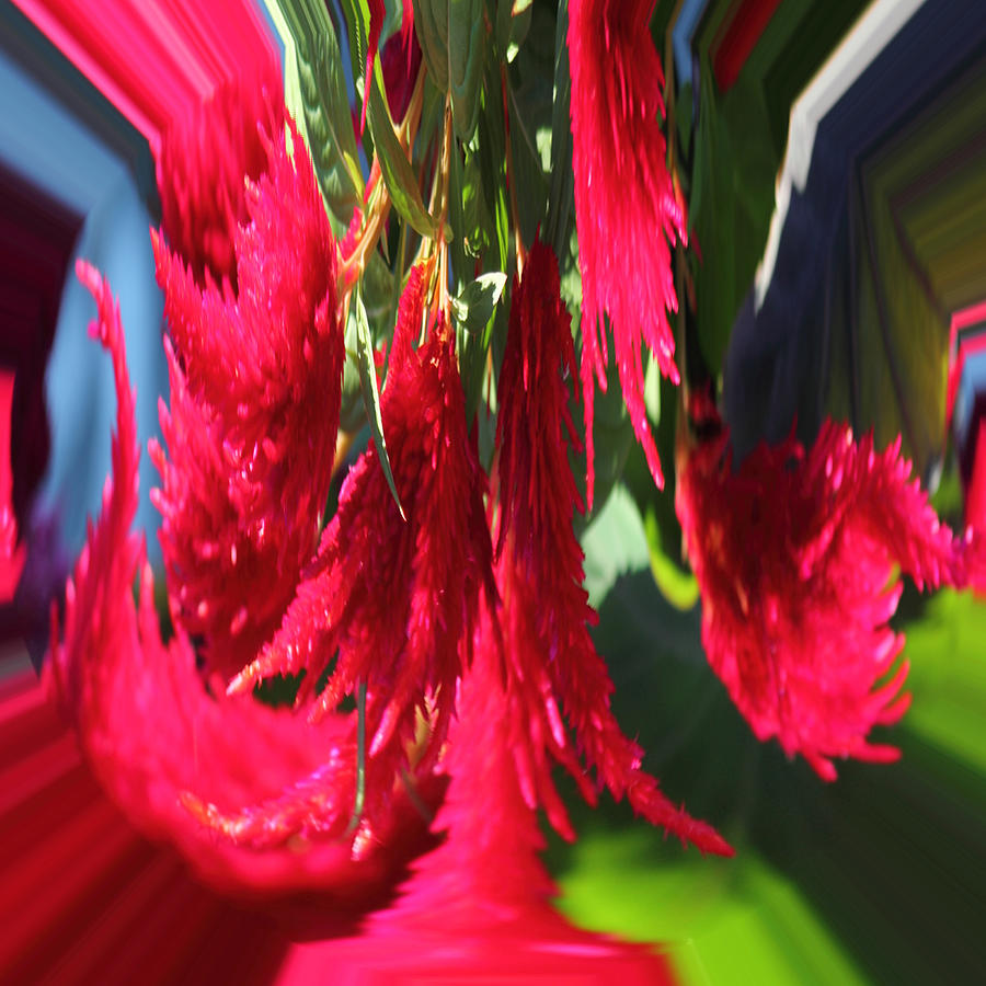 Orb Photograph - Red Celosia Plumosa  by Rhonda Humphreys