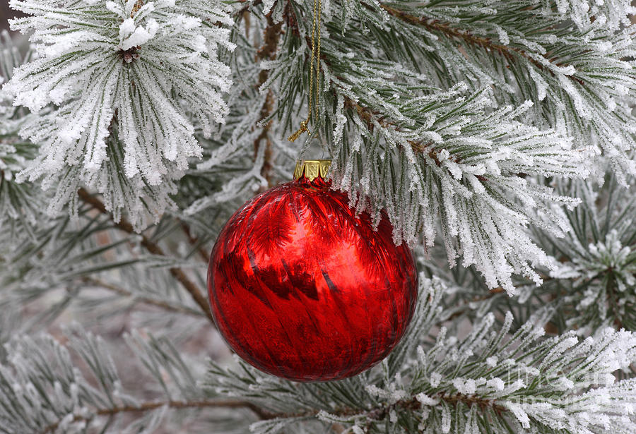 Red Christmas Ball On Frosted Pine Tree Photograph By