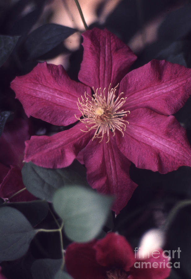 Clematis Photograph - Red Clematis  133 by Stephen Parker