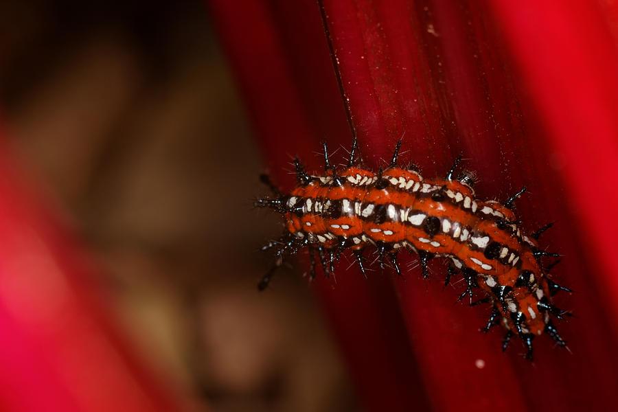 Red Crawler Photograph