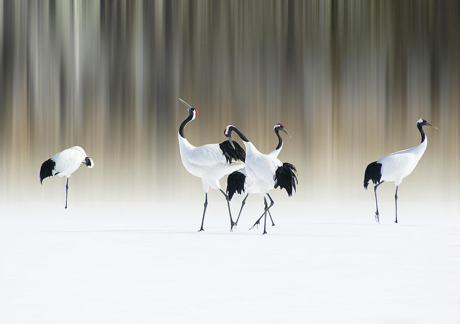 Bird Photograph - Red-crested White Cranes by Ikuo Iga