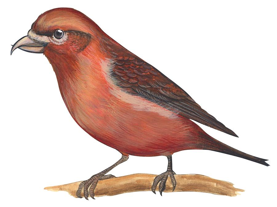 No People; Horizontal; Side View; Full Length; White Background; One Animal; Wildlife; Close Up; Zoology; Illustration And Painting; Bird; Branch; Perching; Beak; Feather; Red; Red Crossbill; Loxia Curvirostra Drawing - Red Crossbill by Anonymous