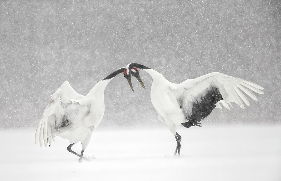 Red Crowned Crane Courtship Dance Photograph by Paul & Paveena Mckenzie